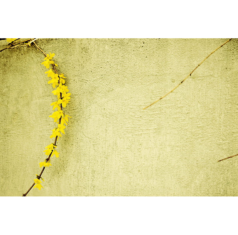 Forsythia wall_shop